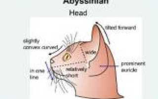Абиссинская кошка цвет глаз