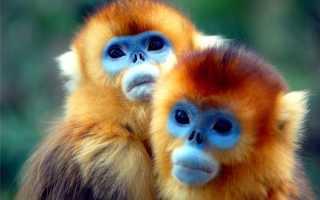 Рыжие обезьянки фото