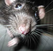 Крыса и белка родственники