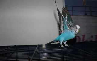 Волнистый попугай мечется по клетке