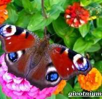 Как выглядит бабочка павлиний глаз