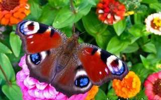 Как выглядит бабочка павлиний глаз фото