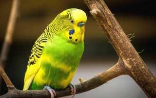 Можно ли давать попугаям творог