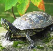 Впадают ли в спячку морские черепахи