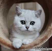Персидская серебристая шиншилла кошка