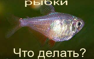 Рыба надулась как шар