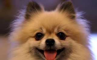 Как выглядит порода собаки шпиц