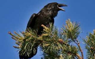 Ворона описание птицы для детей