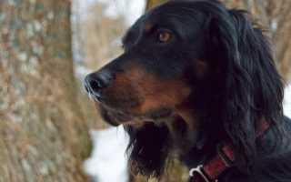 Порода собак гордон