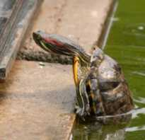 Что делать если черепаха не кушает