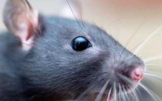 До скольки живут крысы