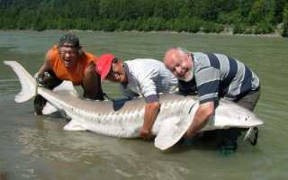 Самая большая осетровая рыба пойманная