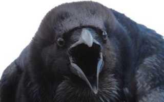 Кто ест ворон