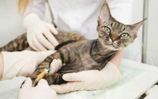 Заболевание кальцивироз у кошек