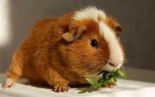 Сколько живут морские свинки розеточные