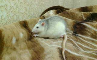 Крысы ночные или дневные животные