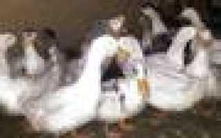 Попугай корелла купить в курске