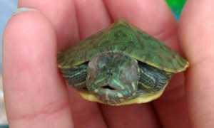 У черепахи впали глаза