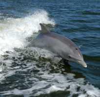 Кто такой дельфин рыба или животное