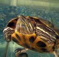Почему черепаха спит в воде