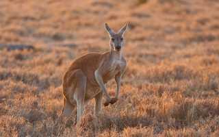 Большой рыжий кенгуру