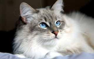 Сибирские котята описание породы