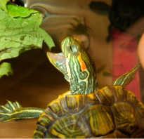 Что едят черепахи водные