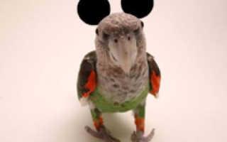Где уши у попугая волнистого