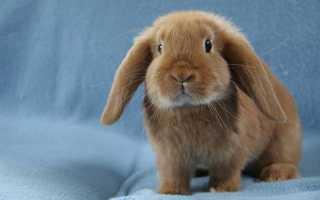 Кролики домашние вислоухие