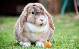Кролик баран уход и содержание