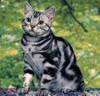 Полосатый кот с белой грудкой