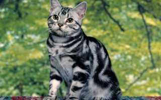 Русская полосатая кошка фото