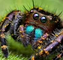 Самый большой паук в мире википедия