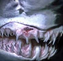 Строение челюсти акулы