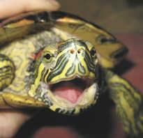 Как рождается черепаха