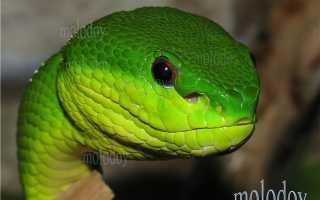 Голубая куфия змея