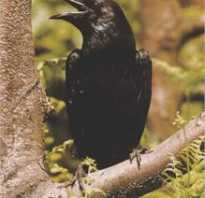 Черный ворон птица