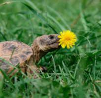 Сколько черепаха может прожить без еды