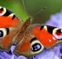 Бабочка павлиный глаз