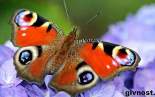 Сколько живет бабочка павлиний глаз