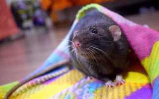 Что делать если крыса кусается