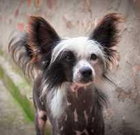 Китайская хохлатая собака уход и содержание