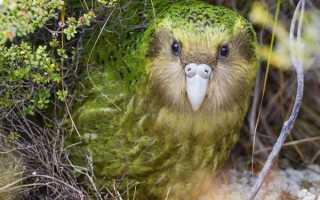 Совиный нелетающий попугай