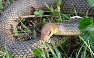 Змея желтобрюх удары хвостом