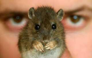 На сколько раньше человека появились крысы