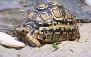 Черепаха млекопитающее или нет