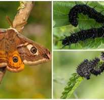 Гусеница бабочки павлиний глаз
