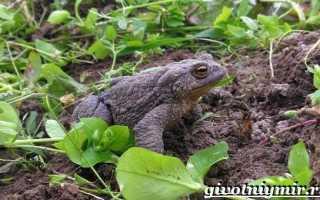 Жаба на огороде
