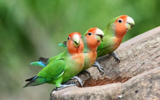 Попугай неразлучник розовощекий