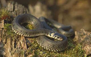 Змея желтого цвета